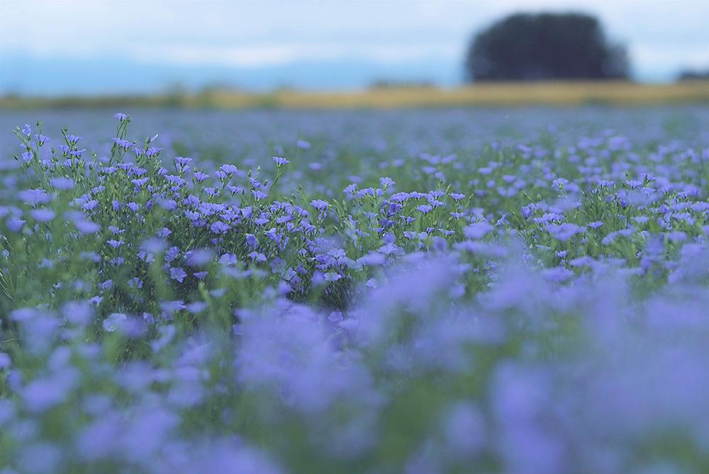 早朝の亜麻畑
